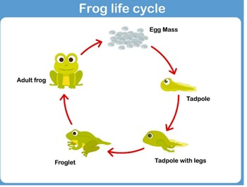 Life Cycles For Kids: Turtles, Chickens, Frogs, an More