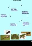 Life Cycles - Frog