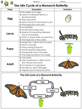 Life Cycles: Monarch Butterfly Study Guide Outline - King