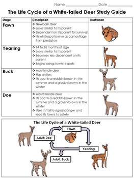 White-tailed Deer Life Cycle Study Guide Outline - King Vi