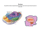Life Science: Parts of a Cell Vocabulary