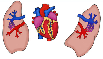 Life Size Heart and Lungs Paper Model Printable Pulmonary Circuit Blood Flow