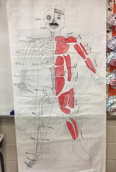 Life Size Skeletal and Muscular System Diagram Project