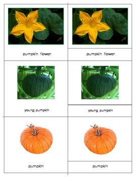 Life cycle: Pumpkin