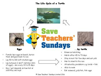 Life cycle of Turtles diagram