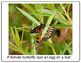 Life-cycle of a Monarch Butterfly printable book
