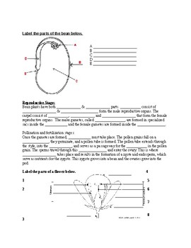 Life cycle of a bean plant webquest and worksheet