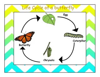 Life cycle of a butterfly Chevron border