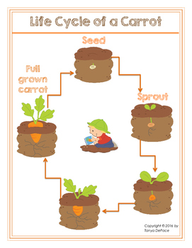 Life cycle of a carrot mini poster and flash cards