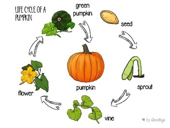 Life cycle of a pumpkin ~ English and Spanish