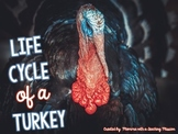 Life cycles : Life cycle of a Turkey
