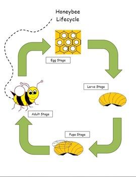 Life of a Honeybee