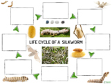 Lifecycle of A Silkworm Poster