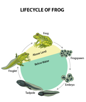 Lifecycle of Frog