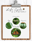 Lifecycle of  a Butterfly Poster | Printable Classroom Poster