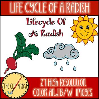 Life Cycle of a Radish Clip Art
