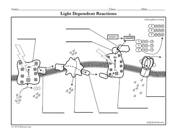 light dependent reactions worksheet resultinfos. Black Bedroom Furniture Sets. Home Design Ideas