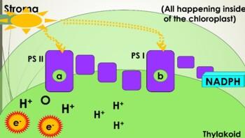 Light Reaction - Photosynthesis