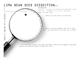 Lima Bean Seed Dissection