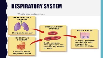 Linking Circulatory & Respiratory Systems