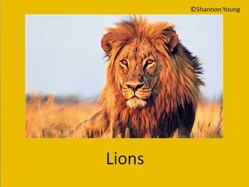 Lion Explanatory Text Writing