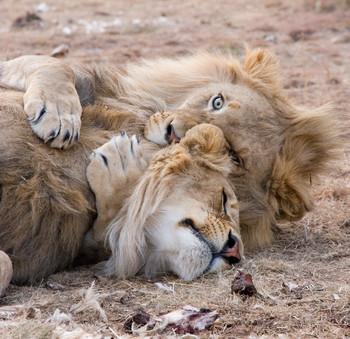 Lion Hugs Digital Puzzle VIPKID