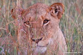 Lion in Tanzania Landscape Photograph