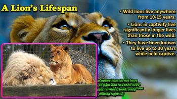 Lions - PowerPoint & Activities