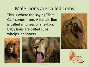 Lions PowerPoint - Fun Facts About Lions