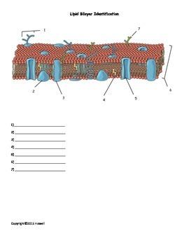Lipid Bilayer Identification Quiz or Worksheet