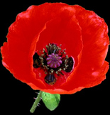 Remembrance Day / Veterans Day Song Resource: Little Red Poppy
