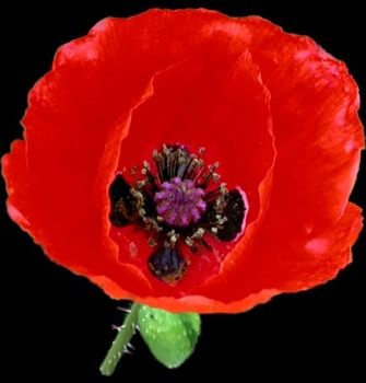 Remembrance Day Veterans Day Song Resource Little Red Poppy Tpt