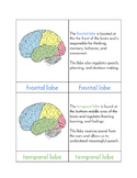 Lobes of the Brain - Three/Four Part Cards