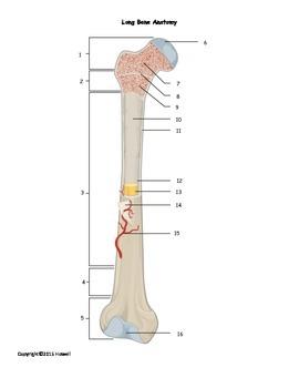Anatomy of a long bone worksheet