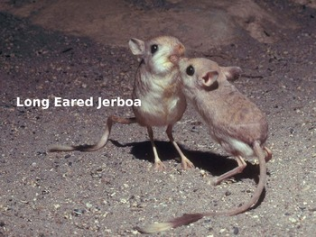 Long Eared Jerboa - Power Point information Facts Pictures