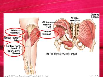 Lower Limb Anatomy