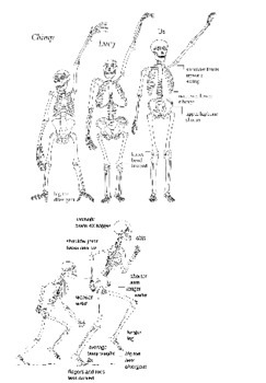 Lucy Australopithecus Compare and Contrast