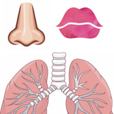 Lung Anatomy Printable