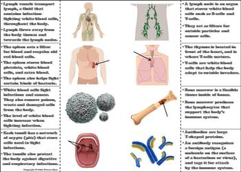 Lymphatic/ Immune System Activity: Human Body Systems Project