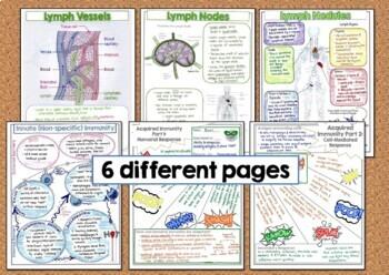 Lymphatic System Doodle Notes: Lymphatic Vessels & Lymph Nodes