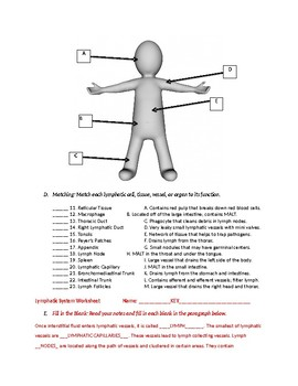 Lymphatic System Worksheet with Key