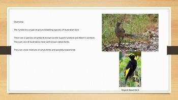 Lyrebird - Mimic Bird - Power Point - Information Facts Pictures
