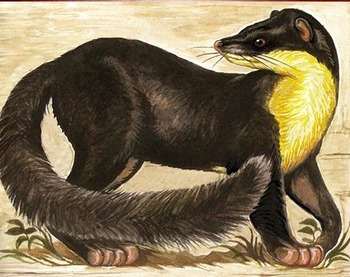 ARTS, BIOLOGY: MARTENS PUBLIC DOMAIN CLIP ART (Some Spanish; 36 Pub Dom Images)