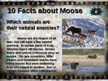 MOOSE: 10 facts. Fun, engaging PPT (w links & free graphic organizer)