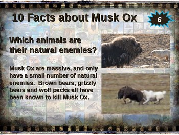 MUSK OX: 10 facts. Fun, engaging PPT (w links & free graphic organizer)