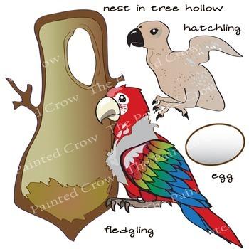 Macaw Life Cycle - Bird Clip Art Set - Parrots - 28 Piece Color and Blackline