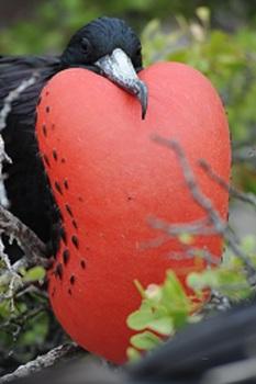 Magnificent Frigate Bird Photographs- Galapagos Islands