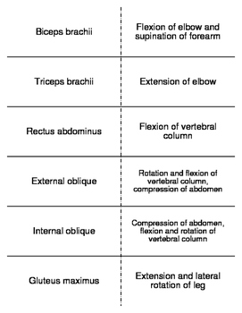 Major Muscle Contractions Flash Cards