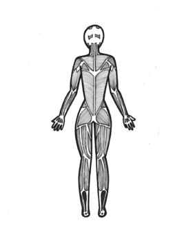 Major Muscle Groups Diagram