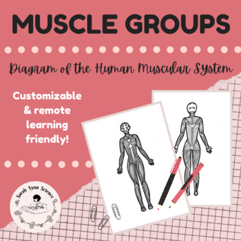 Major Muscle Groups Diagram By Sarah Lynn Science Tpt